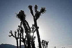 fascinerende cacti: Joshua Tree